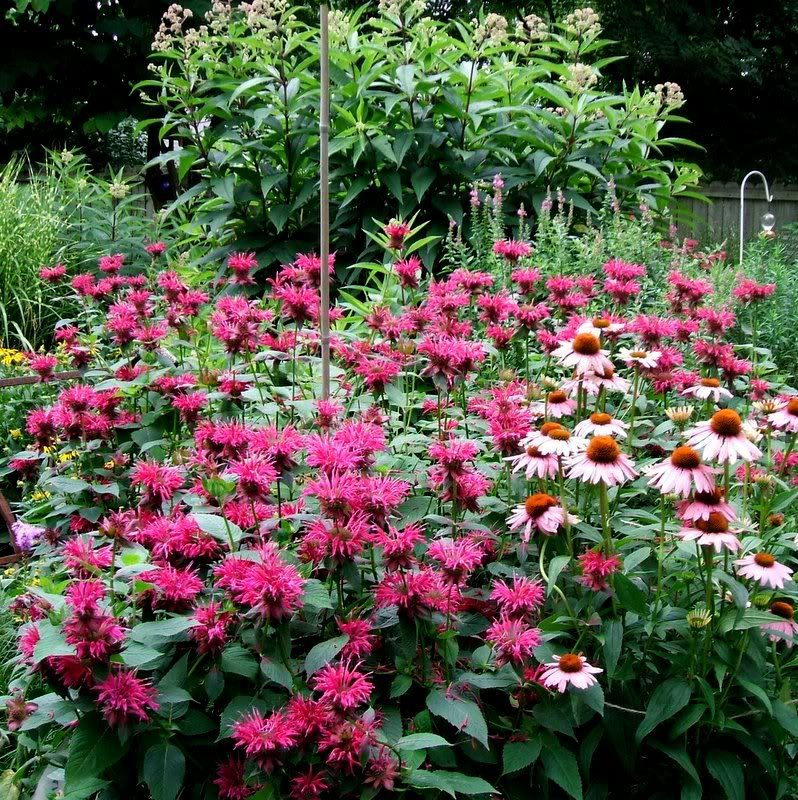 Bee Balm And Coneflowers They Grow Well Together The Bee Balm Is Resistant To Just About Everything A Summer Flowers Garden Flower Garden Plant Combinations