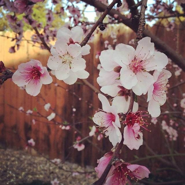 Cherry Blossoms In Japan And Spring Colors Around The World Ever In Transit Cherry Blossom Japan Blossom Northern California
