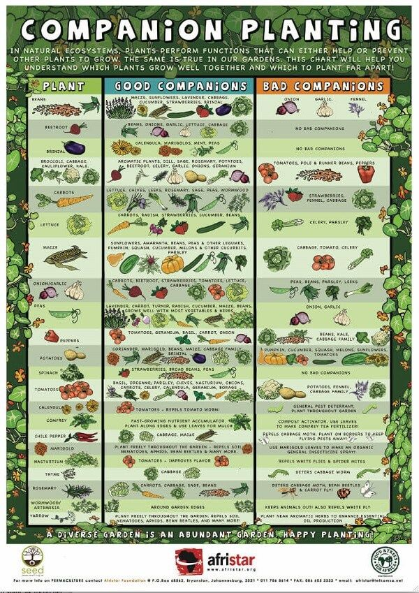 Companion Planting Guide Graphic  Farm    Companion