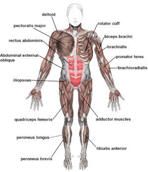 What Is Fitness Over 50 Muscle Diagram Polymyositis Muscle