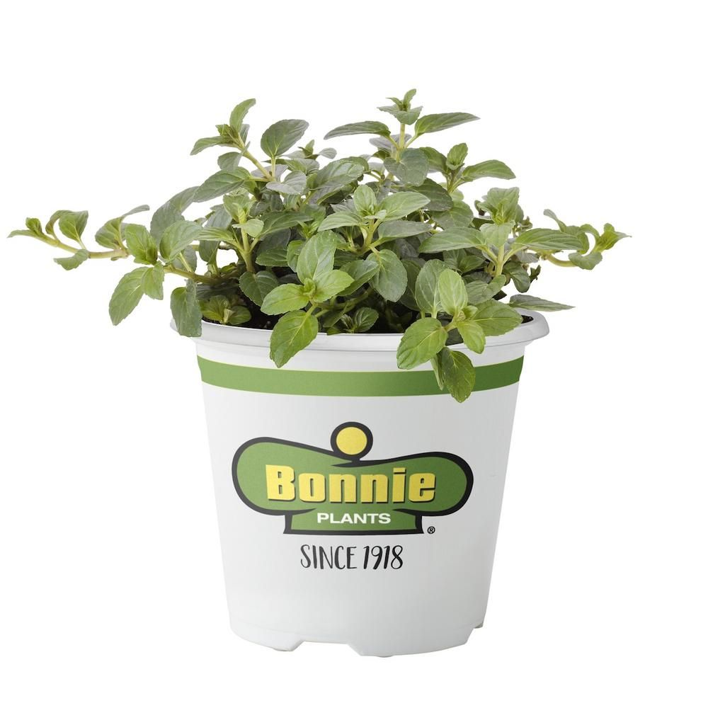 Bonnie Plants 4 5 In Peppermint Plants Planting Herbs Live