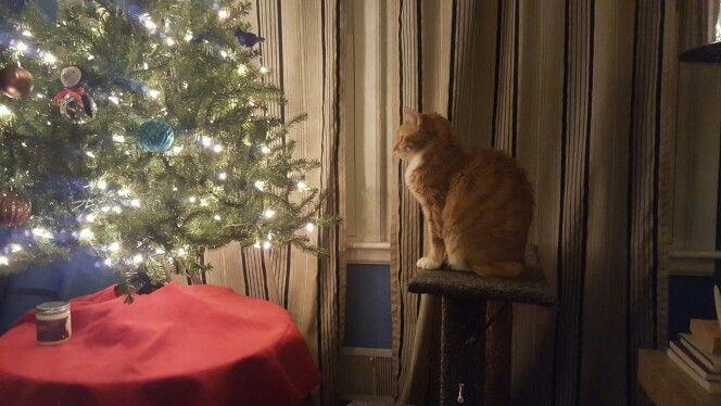 Harvey the geriatric so sweet feline admiring the Christmas tree.