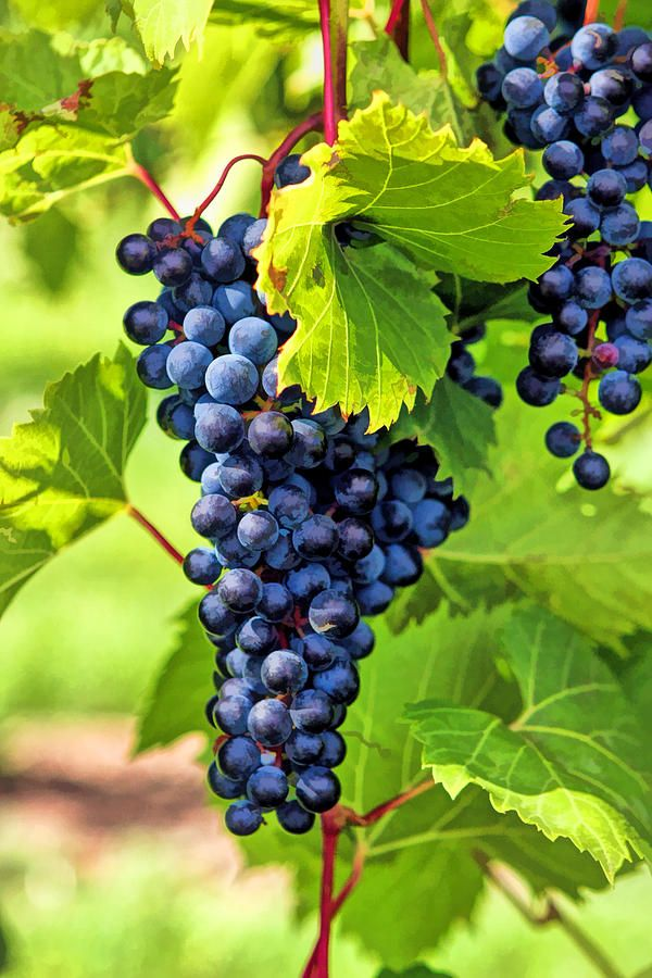 Door County Grape Cluster Artsy Stuff In 2019 Grape