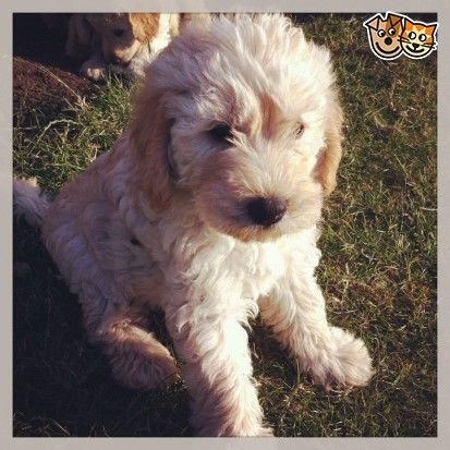 Labradoodle Puppies For Sale Labradoodle Puppies For Sale