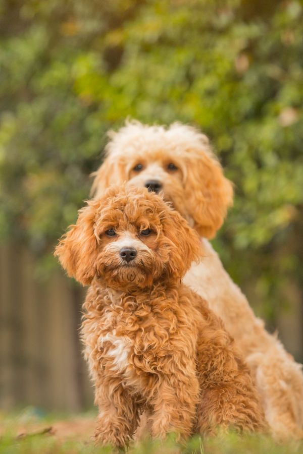 Cavoodles come in two sizes, the toy and the miniature
