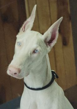 Doberman Albino Animals Rare Albino Animals
