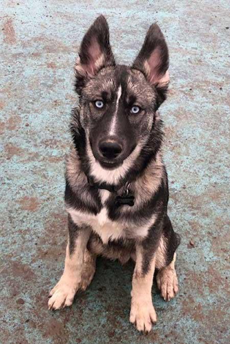Meet The Gerberian Shepsky The German Shepherd Husky Mix In 2020 German Shepherd Husky German Shepherd Husky Mix Best Dog Breeds