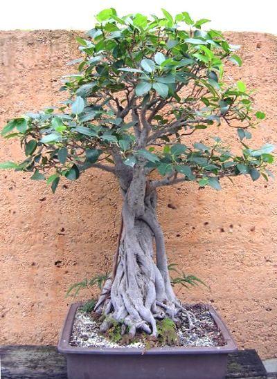 Brisbane Botanic Gardens Bonsai House Collection Bonsai Ficus Bonsai Tree Bonsai