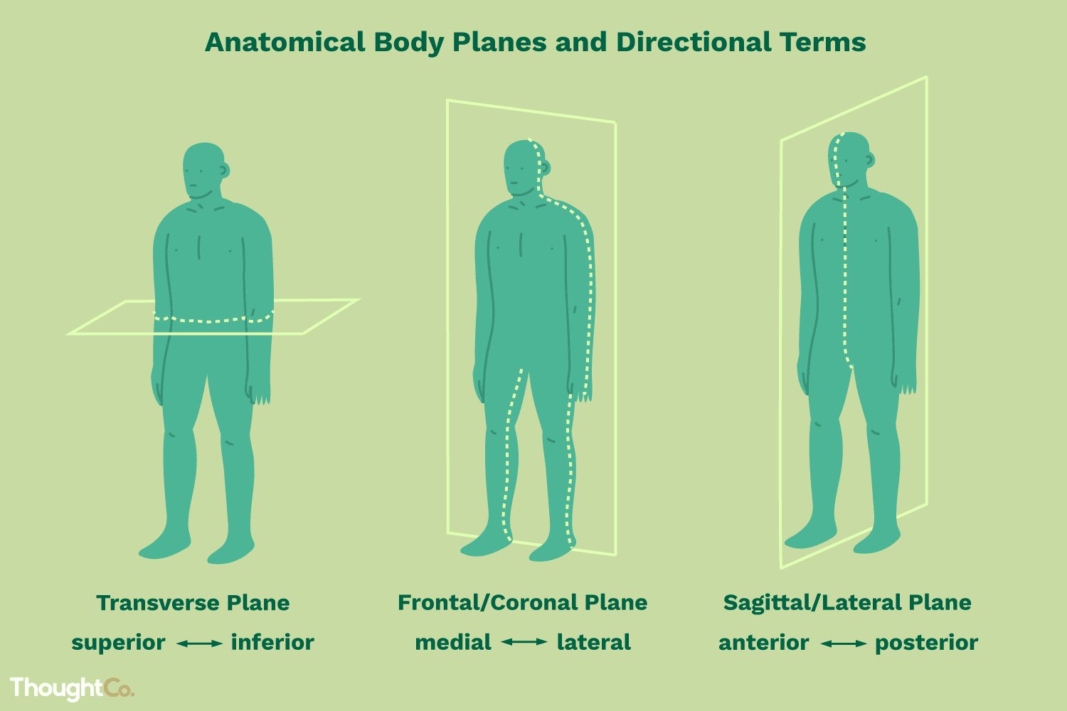 These Are The Anatomical Directional Terms You Should Know