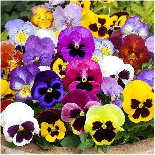 Pansy Seeds Swiss Giants Mixture Viola Wittrockiana Pansies Flowers Flower Seeds Pansies