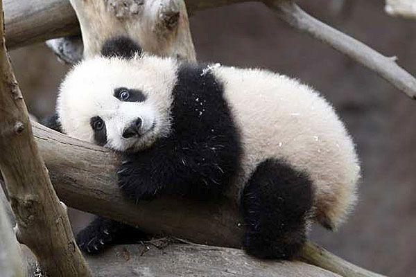 Your morning adorable: San Diego Zoo's giant panda cub, Yun Zi, debuts to the public #babypandas