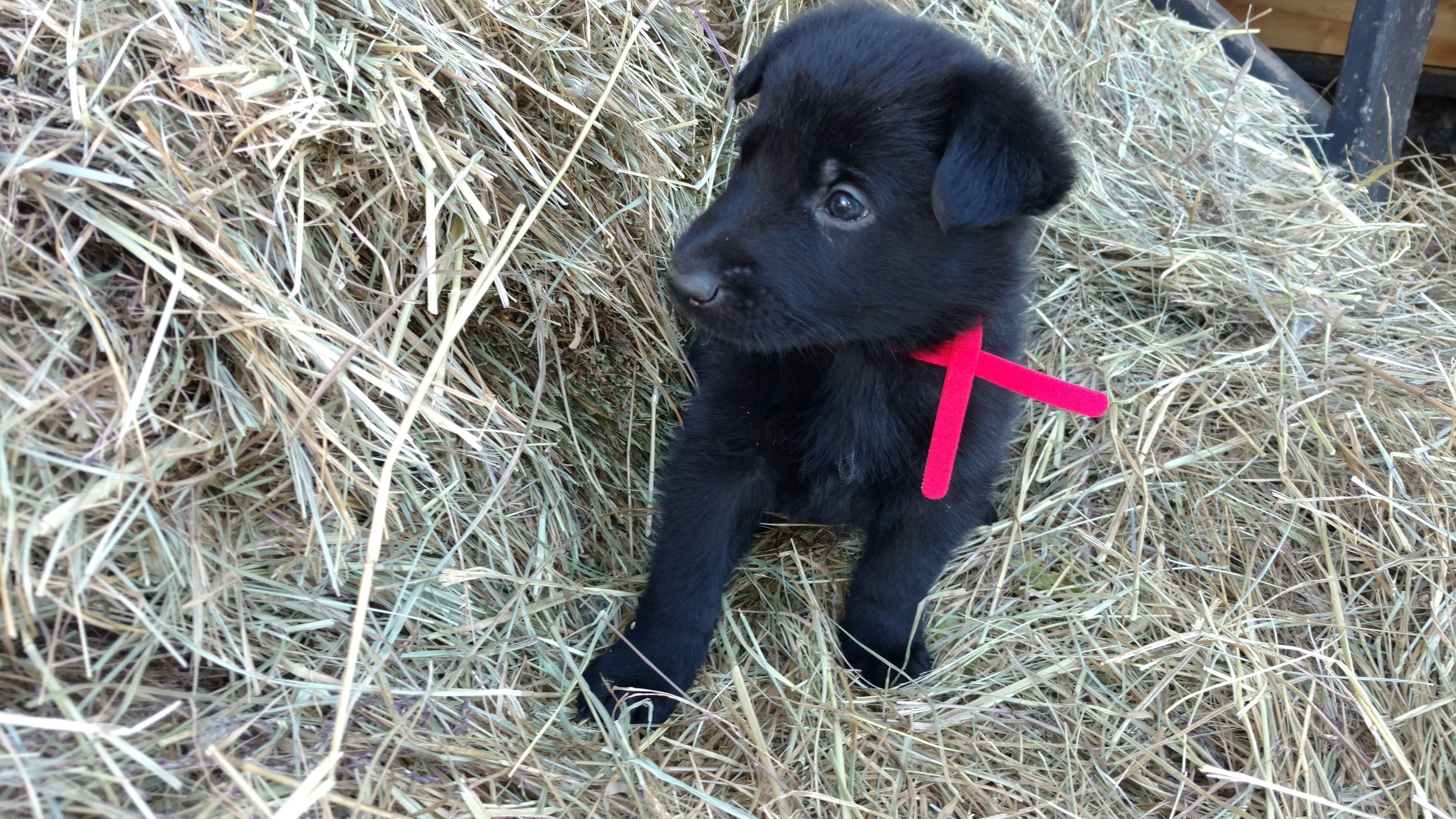 Breed german shepherd gender male registry non