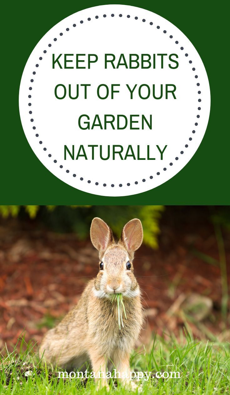 How to Keep Rabbits out of Your Garden Naturally * Natural ...