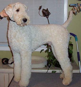 Standard Poodle Grooming Styles Poodle Forum Standard