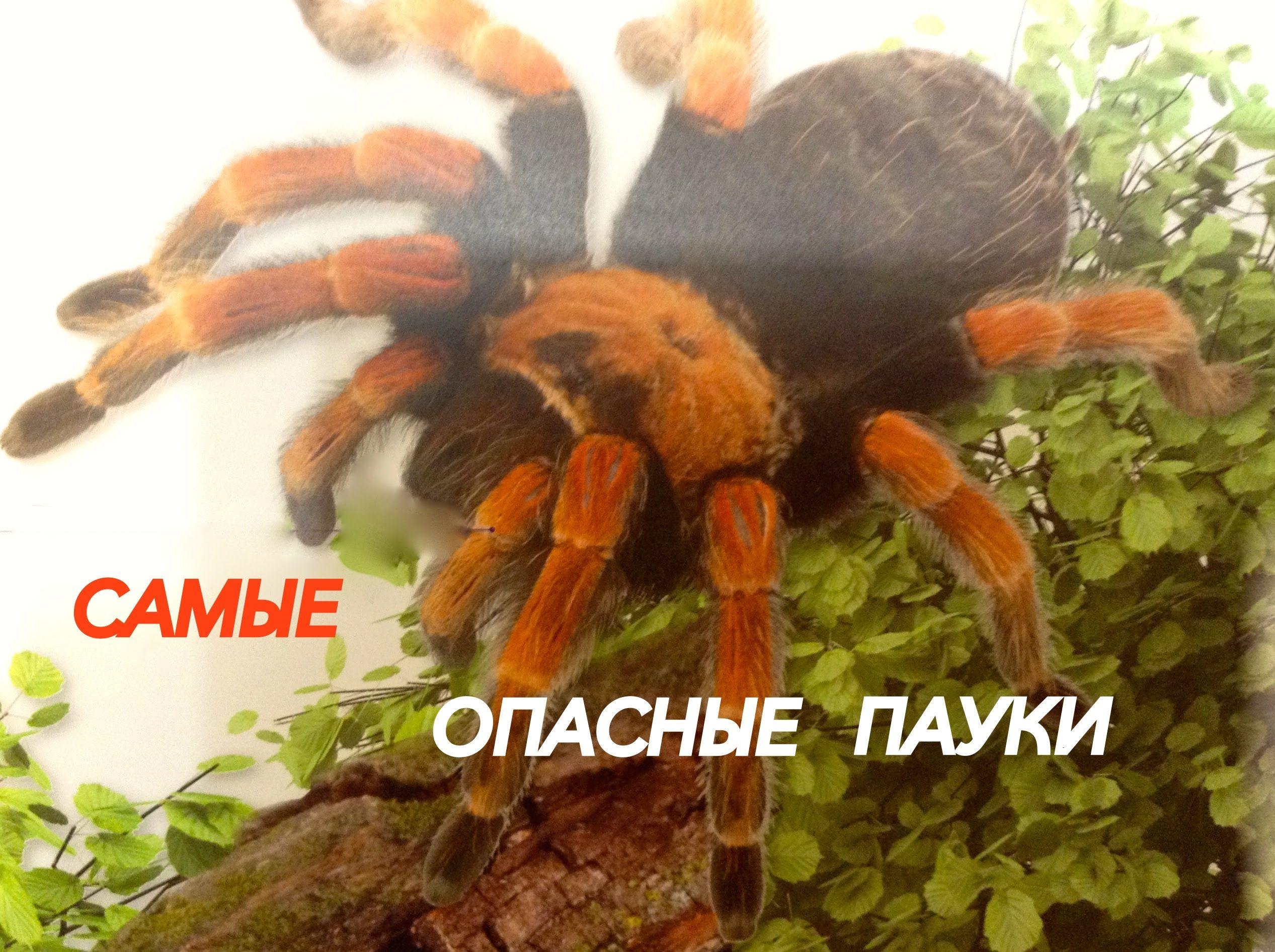 Самые опасные пауки | Паук