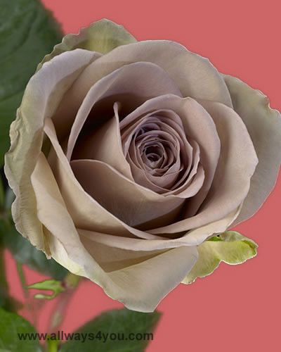 I LOVE amnesia roses! The mauve-green hues make such a ...