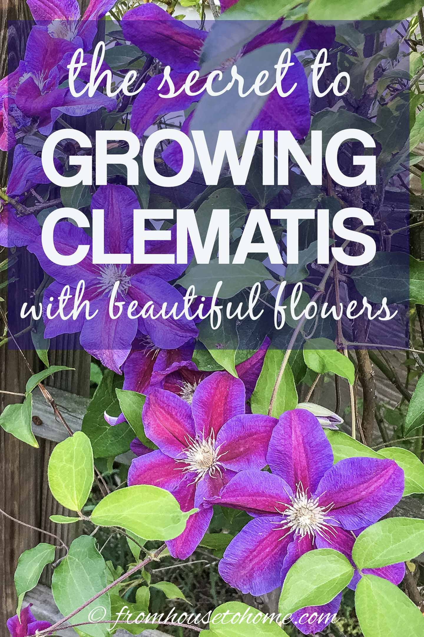 Clematis Care The Ultimate Guide To Planting Growing And Pruning Clematis Gardening From House To Home In 2020 Clematis Care Clematis Plants Clematis