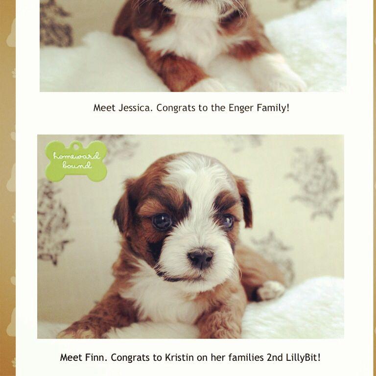 Parti yorkie puppies price