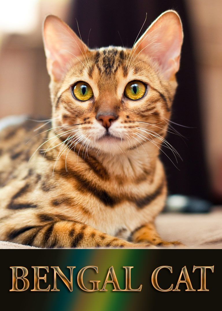 Bengal Cat - Breed Information | Cat, Unique animals and Animal
