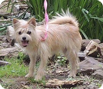 Joplin Mo Chihuahua Schnauzer Miniature Mix Meet Chloe A Dog