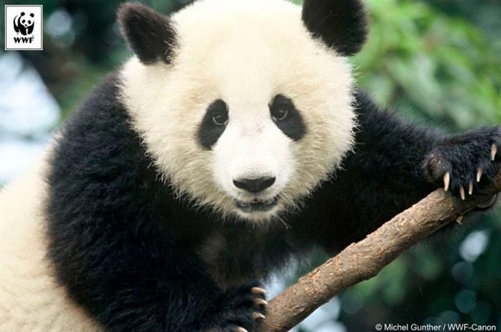 Bamboo, the giant panda's staple diet, is part of a delicate ecosystem that could be affected by the changes caused by climate change.  With a population that is already small and isolated from each other and threats due to loss of habitat, climate change could have serious consequences for these animals.