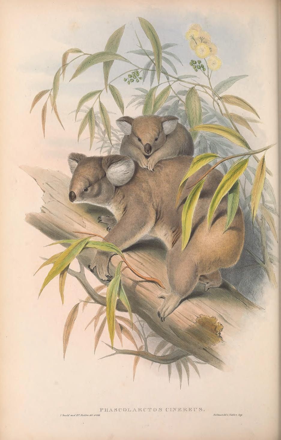 V 1 1863 The Mammals Of Australia Biodiversity Heritage Library Australia Animals Mammals Animals