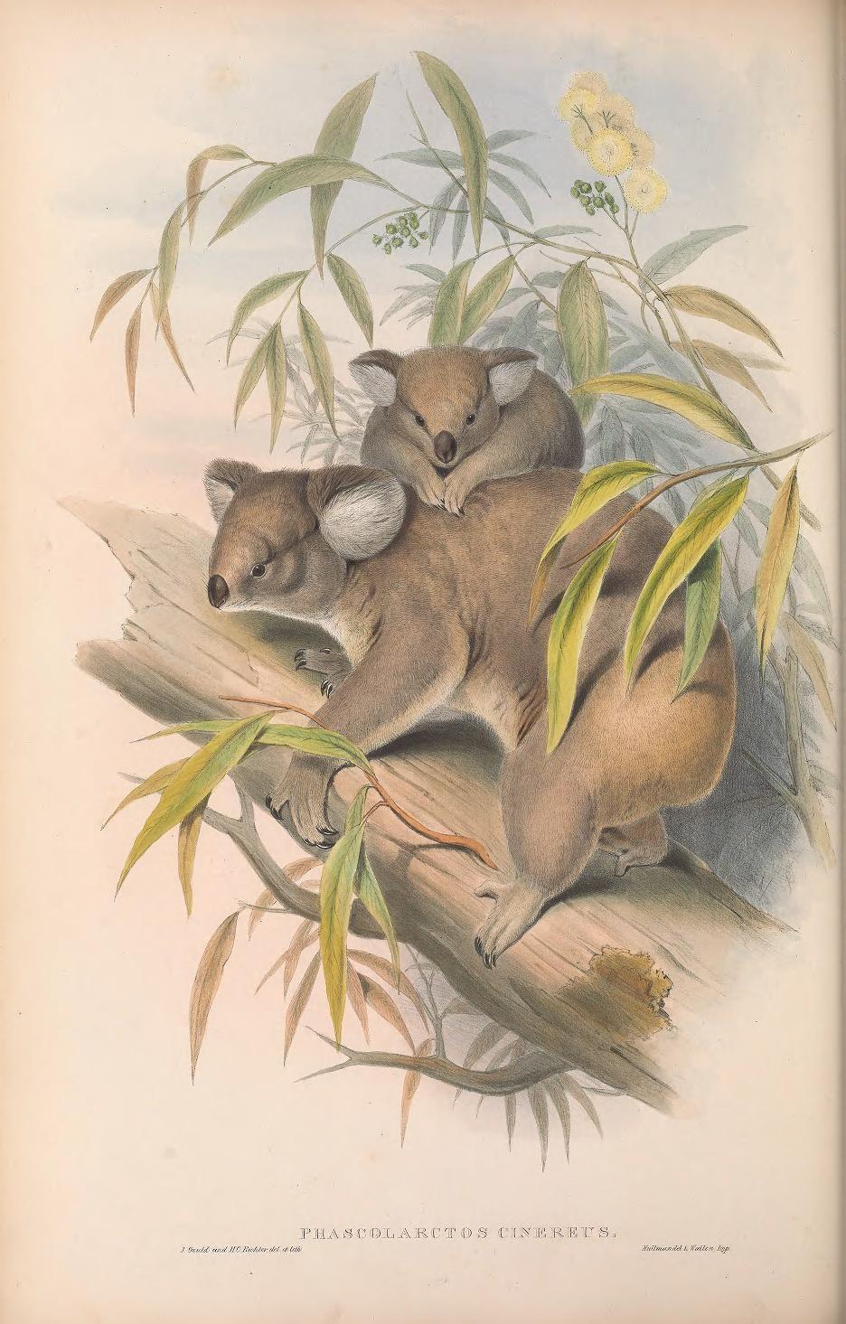 V 1 1863 The Mammals Of Australia Biodiversity Heritage Library Australia Animals Mammals Animals