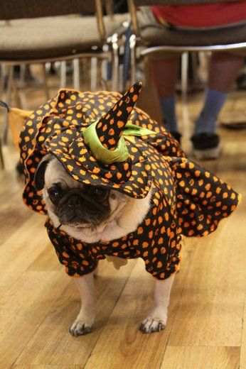 Photos See Elvis Pugsley And Other Costumed Canines At Pug O Ween