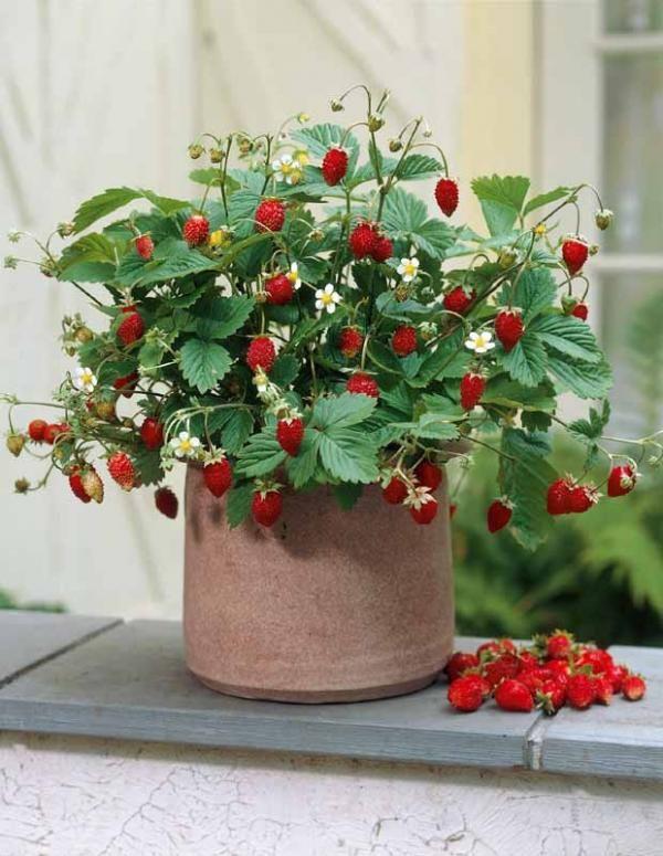 Fraisier 39 reine des vall es 39 mini plantes pour petit - Petit jardin romantique tours ...