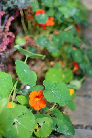 Nasturtium. A September stroll around the garden with What You Sow