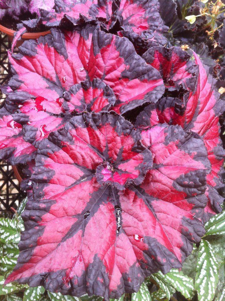 Hojas de Begonia Plantas de Follaje Coloreado Pinterest Hoja