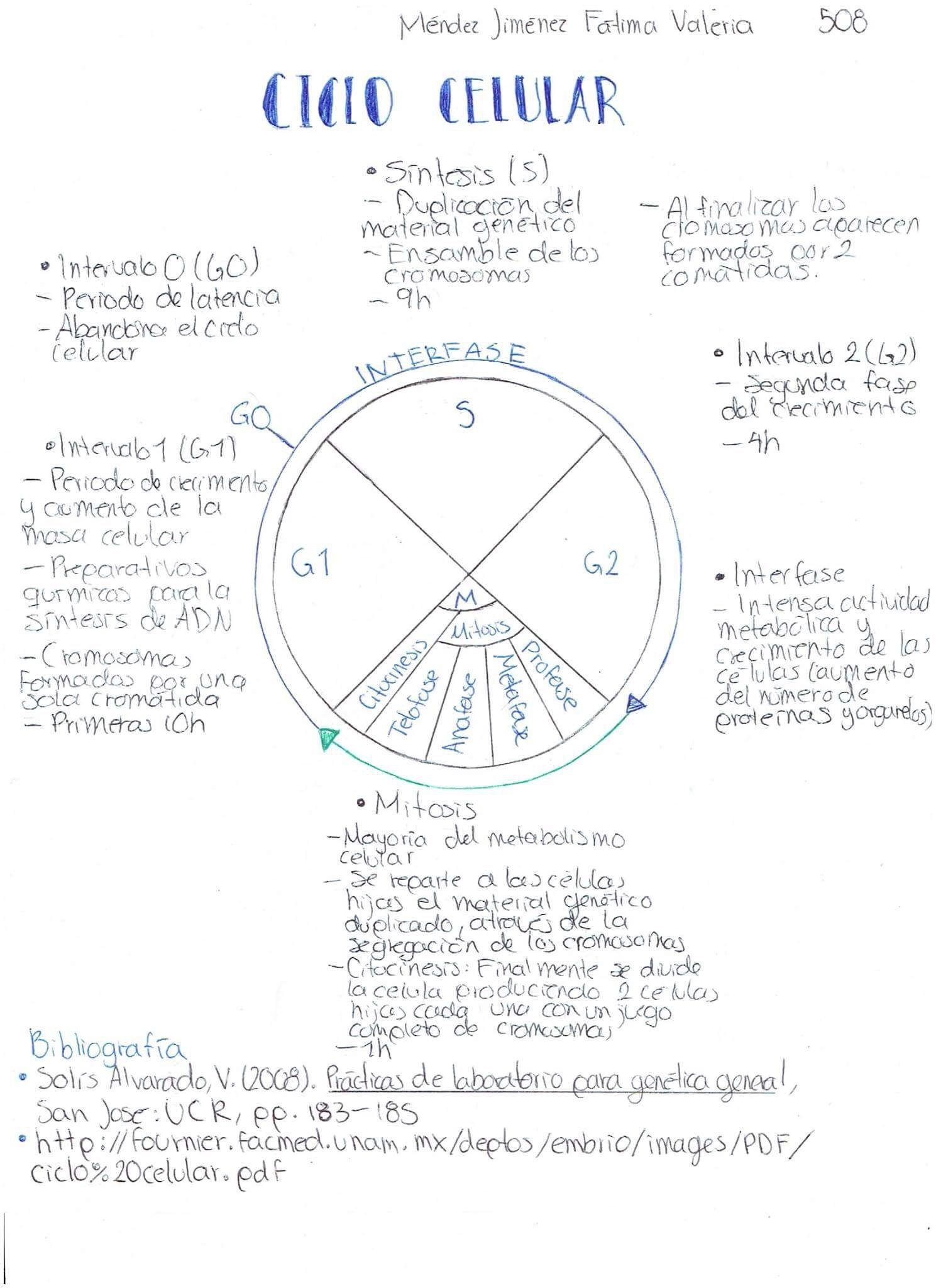 Esquema del ciclo celular fuente httpfournierfacmedunam esquema del ciclo celular fuente httpfournierfacmedunam urtaz Images