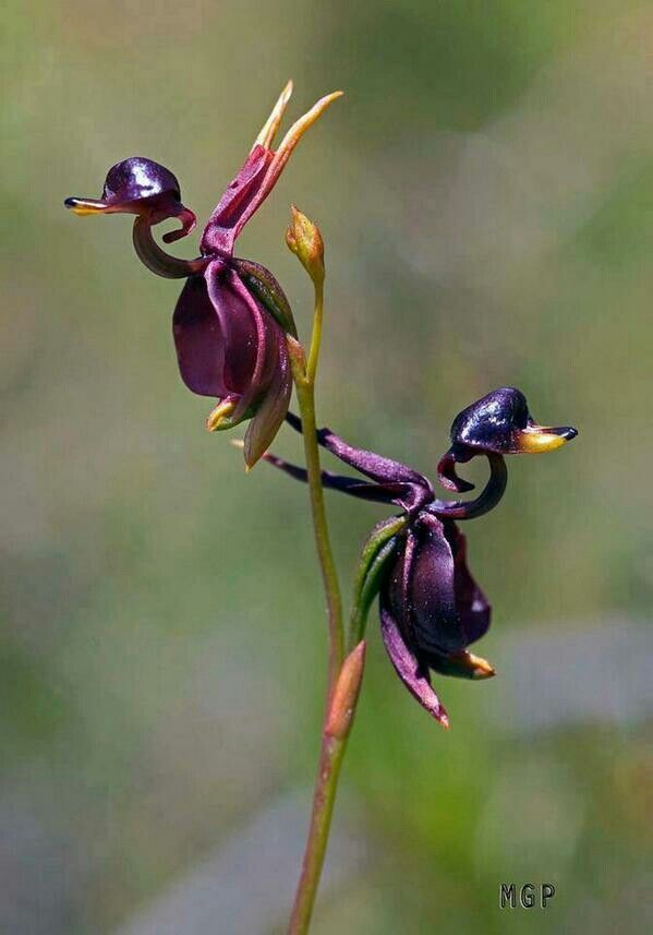 The Flying Duck Orchid (Caleana major), is a small orchid found in eastern and southern Australia. This terrestrial plant features a remarkable flower, resembling a duck in flight. The flower is an attractant to insects, such as male sawflies which pollinate the flower in a process known as pseudocopulation.