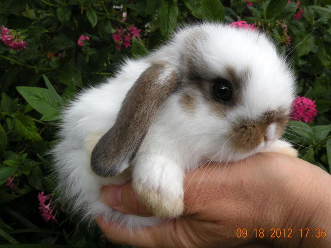 Holland Lop My Bun Bun Looked Just Like This Cute Little Guy Cute Baby Bunnies Dwarf Bunnies Netherland Dwarf Bunny