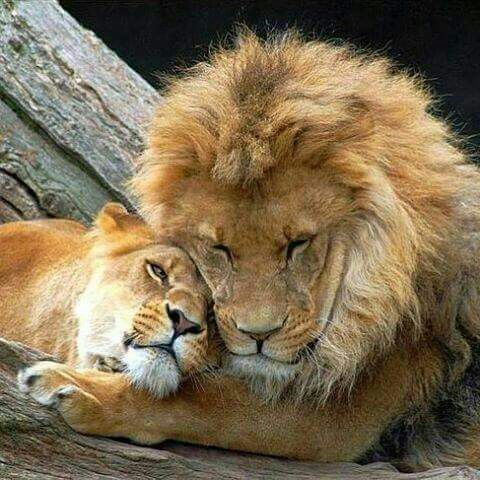 Pin By Stacy Ryzmek On Lions Pinterest Animales Reino Animal