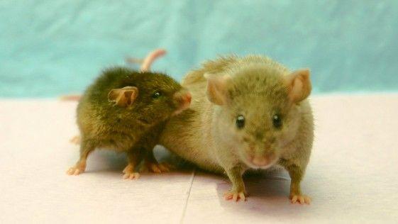 Descubren en el cerebro de roedores el interruptor del envejecimiento – Cosas del cerebro