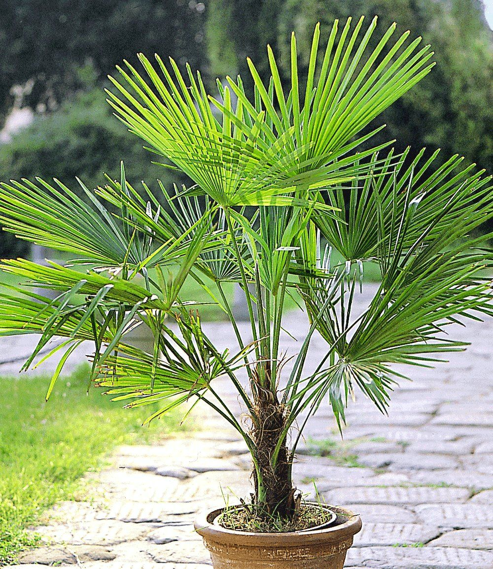Winterharte Kübel Palme 2er Set Garden ideas