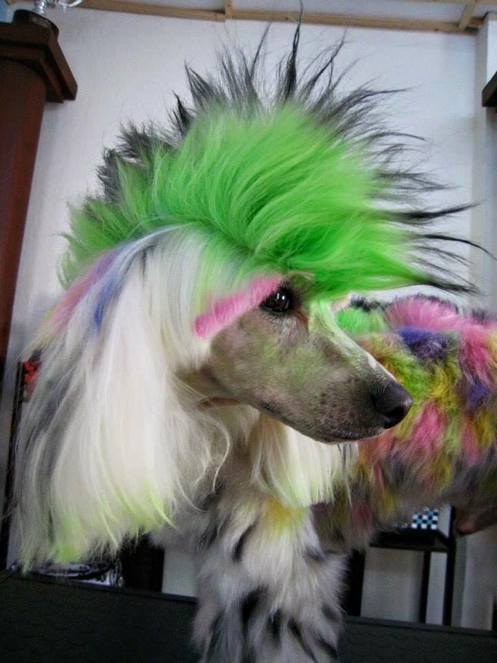 Pin By Kim King On Poodles With Images Dog Dye Pet Grooming