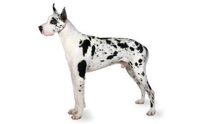 Great Dane Dog Breed Information Pictures Characteristics