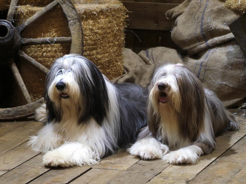 Collies Barbudos En Un Granero Bearded Collie Bearded Collie Puppies Cute Dog Wallpaper