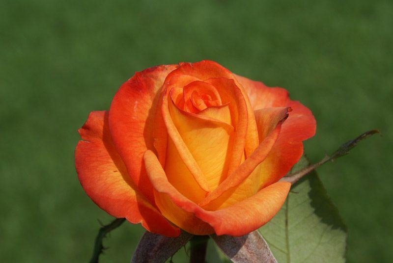 Sun City Ludwig S Roses Hybrid Tea Roses Tea Roses Rose