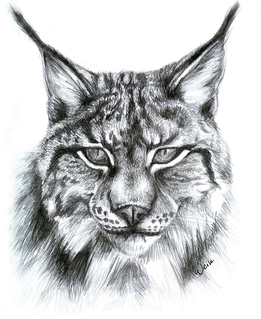 PictureTip.com / Gallery: Lynx face drawing | Animal ...