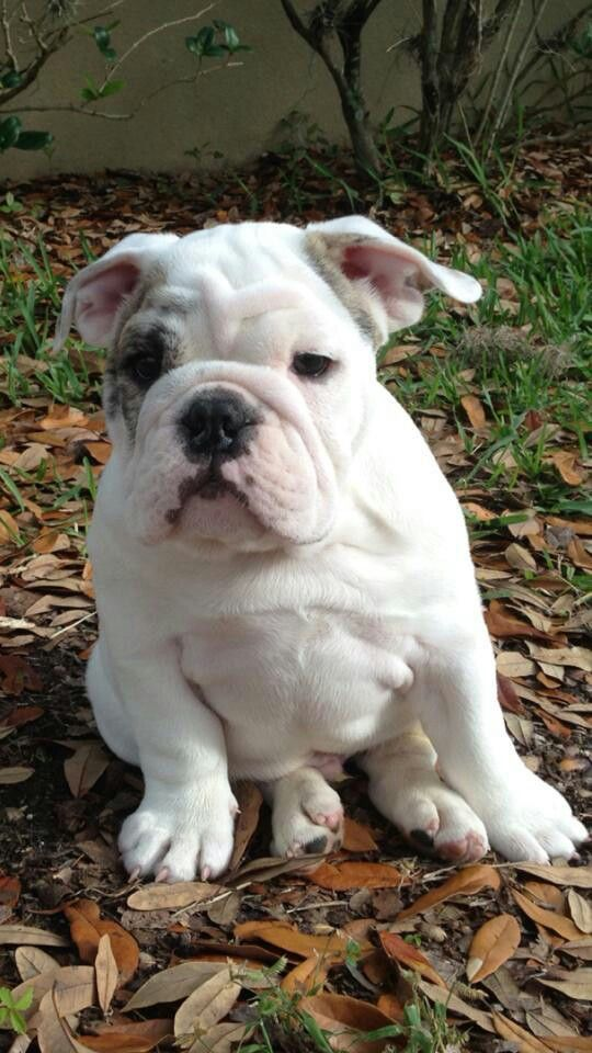 Sweetie Dog Breeds I Love Dogs Puppy Love