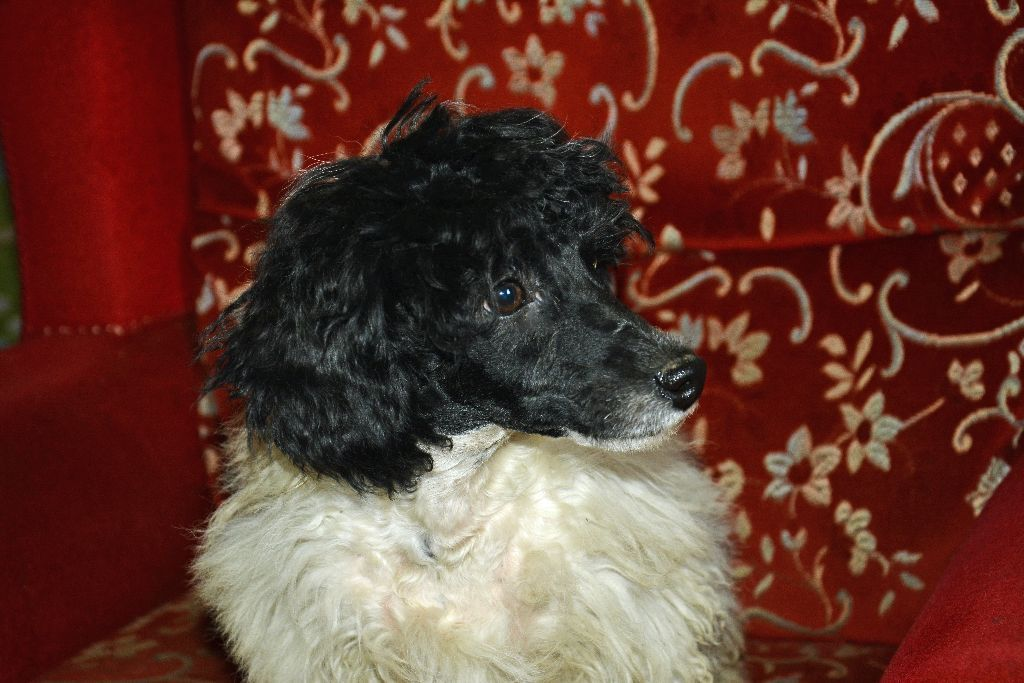 Older Poodle Puppy For Sale On Gumtree Mum Is 3 4 Poodle 1 4