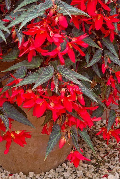 Begonia Million Kisses How To Grow Beautiful Begonias Https
