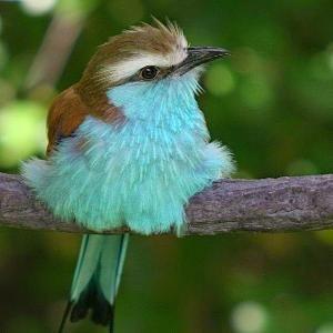 Cute Beautiful Powderpuff Blue Bird   Cute animals world by kelly.meli