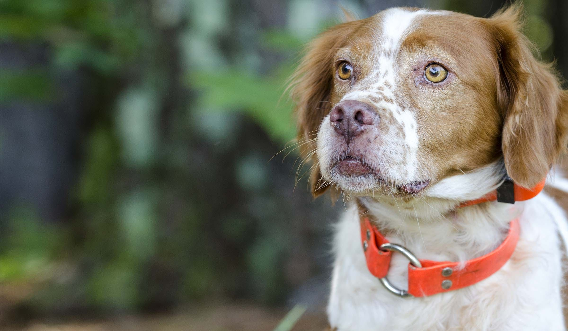How To Train Your Brittany Dog To Retrieve How To Train Your
