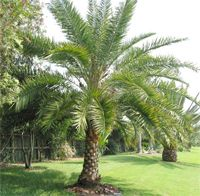 Sylvester Date Palm Tree Phoenix Sylvestris Palm Trees