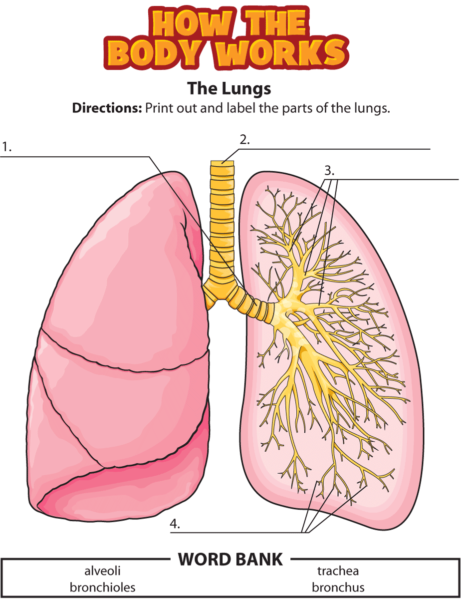hight resolution of lungs labeling