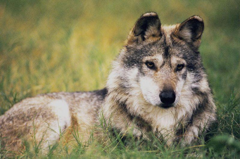 Rehabilitación Del Lobo Gris En Proceso: Lobo-gris-mexicano
